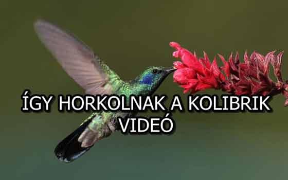 ÍGY HORKOLNAK A KOLIBRIK - VIDEÓ