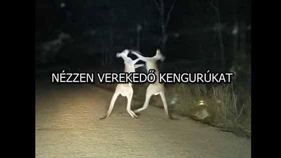 NÉZZEN VEREKEDŐ KENGURÚKAT!