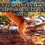 ÍGY SZABADÍTANAK KI EGY CSAPDÁBA ESETT PUMÁT - VIDEÓ